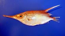 Pesce trombetta for Quanto vive un pesce rosso